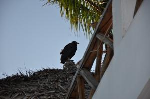 Vulture (zopilote)
