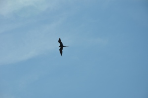 The Magnificent Frigatebird (note scissor tail), with wingspan of 6-8 feet!