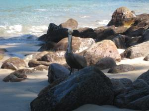 Brown Pelican, close up -- this guy was eyeing a couple of tuna that a fisherman had brought up to the beach.