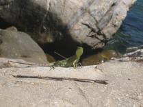 Little lizard strikes a pose
